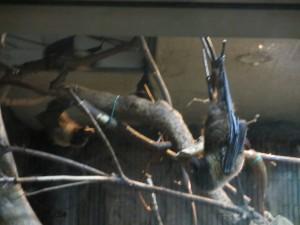 オオコウモリ 夜の動物園