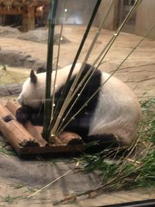 ジャイアントパンダ 夜の動物園